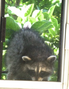 raccoon at my window