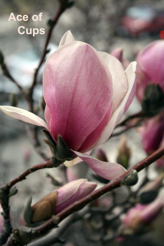Ace of Cups - Magnolia